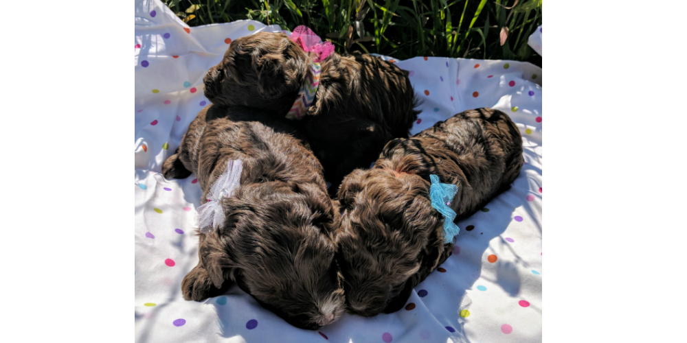 Mini Aussiedoodle Puppies_1