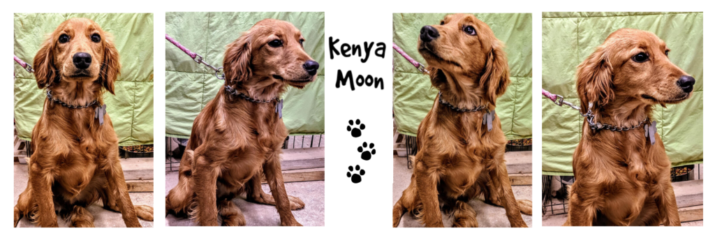 Kenya Moon, Petite Golden Retriever