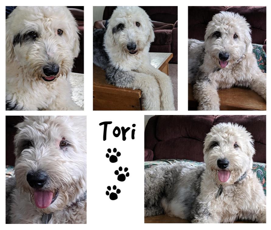 Tori Old English Sheepdog